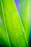 Gotas em uma folha de palmeira como o fundo Foto de Stock