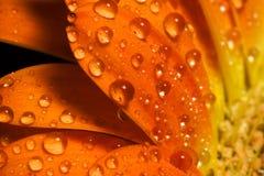 Gotas macras del agua de la flor anaranjada Imagen de archivo