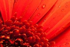 Gotas macro da água da flor vermelha Imagens de Stock Royalty Free