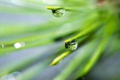 Gotas macro em agulhas do pinho Fotografia de Stock Royalty Free