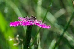 Gotas macro roxas da flor Imagens de Stock