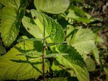 Gotas minúsculas nas folhas pequenas imagens de stock royalty free