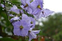 Gotas na flor Fotografia de Stock Royalty Free