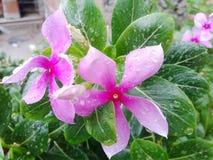 Gotas na flor Fotos de Stock Royalty Free
