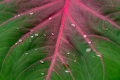 Gotas na folha do Caladium Foto de Stock