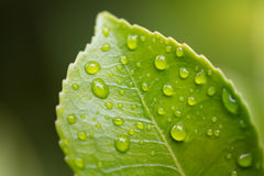 gotas na folha verde Imagens de Stock