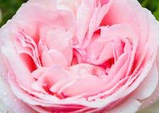Gotas na rosa do rosa fotografia de stock
