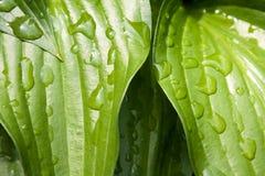 Gotas nas folhas Imagem de Stock