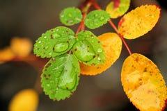Gotas nas folhas Imagens de Stock