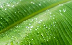 Gotas nas folhas da banana Imagens de Stock