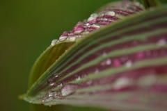 Gotas nas folhas da tulipa Fotografia de Stock Royalty Free