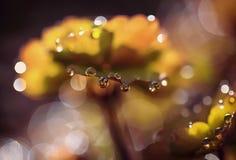 Gotas nas folhas do aquilegia Fotografia de Stock