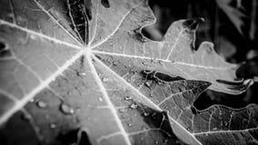 Gotas nas folhas preto e branco Foto de Stock