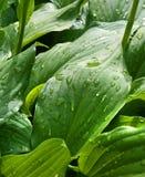 Gotas nas folhas verdes Foto de Stock