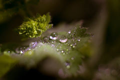 Gotas nas folhas verdes Imagem de Stock Royalty Free