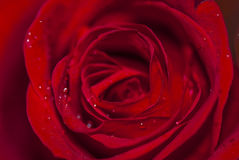 Gotas nas pétalas, vista macro da flor e da água de Rosa Fotografia de Stock