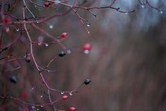 Gotas no ramos Imagem de Stock