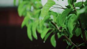 Gotas que gotejam das folhas frescas das árvores do jardim que crescem em uma exploração agrícola video estoque