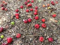 Gotas rojas de la cereza debajo del árbol fotografía de archivo