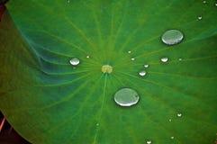 Gotas suspendidas na folha verde Imagem de Stock
