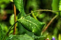 Gotas Una hoja de una planta Imagen de archivo libre de regalías