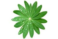 Gotas verdes da folha e da chuva isoladas na sagacidade branca Imagens de Stock Royalty Free