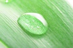 Gotas verdes en la planta Fotos de archivo libres de regalías