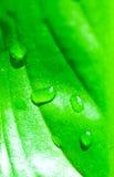 Gotas verdes frescas da folha e da água Fotografia de Stock