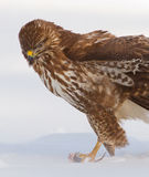 Gotcha. Common buzzard with prey in a winter wonderland Royalty Free Stock Photography