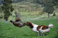 Gotcha!!. Hunting dog latches on to male ring-necked pheasant, Phasianus colchinus. (The bird did escape Stock Photography