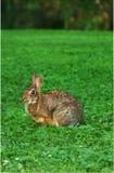 Gotcha! Un coniglio selvaggio cerca accorto dalla sua festività del trifoglio verde Immagini Stock Libere da Diritti