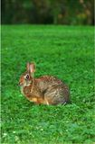 Gotcha! A wild rabbit looks up warily from his feast of green clover Royalty Free Stock Images