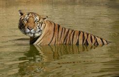 Gotejamento Bengal Tiger Stare Fotografia de Stock