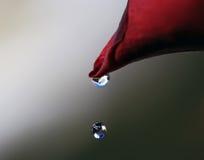 Gotejamento da água da pétala de Rosa Imagens de Stock Royalty Free