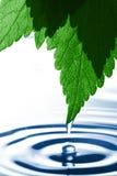 Gotejamento da água de uma folha Imagens de Stock Royalty Free