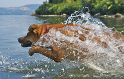 Gotejamento do cão Imagens de Stock