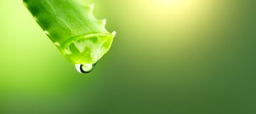 Gotejamento do gel de Vera do aloés do close up verde da folha do aloés Conceito de Skincare Gota do tiro macro do suco fresco de fotos de stock royalty free