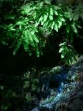 Gotejamento pendendo sobre da água do pedatum do Adiantum da samambaia de Maidenhair na montagem Rainier National Park Foto de Stock