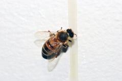 Goteo de la abeja de la miel Fotografía de archivo