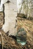 Goteo de la savia del abedul en el tarro Foto de archivo