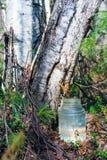 Goteo de la savia del abedul en el tarro Sibir, Yugra Fotos de archivo