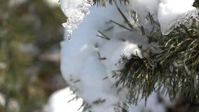 Goteo de un descenso de la nieve derretida de una rama spruce almacen de metraje de vídeo