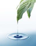 Goteo del agua de las hojas Foto de archivo