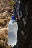 Goteos de la savia del abedul en un envase de plástico en primavera temprana imagenes de archivo