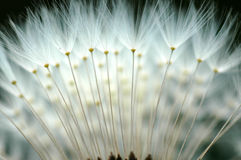 Gothic. A dandelion which looks gothic Stock Image