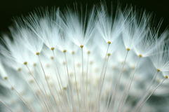 Gothic. Macro of a dandelion with black background Stock Photos