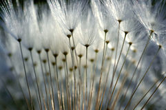 Gothic. Macro photo of a dandelion Royalty Free Stock Images