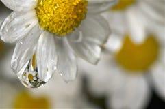 Gotita de agua en una flor blanca y amarilla Imagen de archivo
