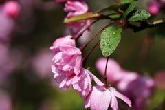Gotita rosada de la flor Imagen de archivo libre de regalías