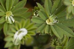 Gotitas de agua cogidas en flor Fotografía de archivo